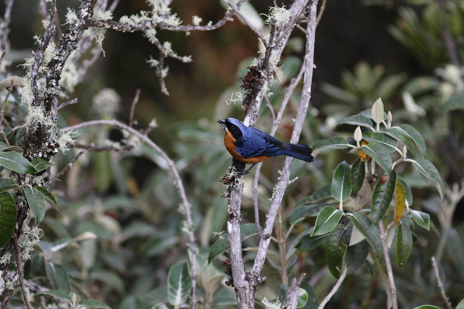 Chestnut-bellied Mountain-Tanager Photo by Leonardo Garrigues
