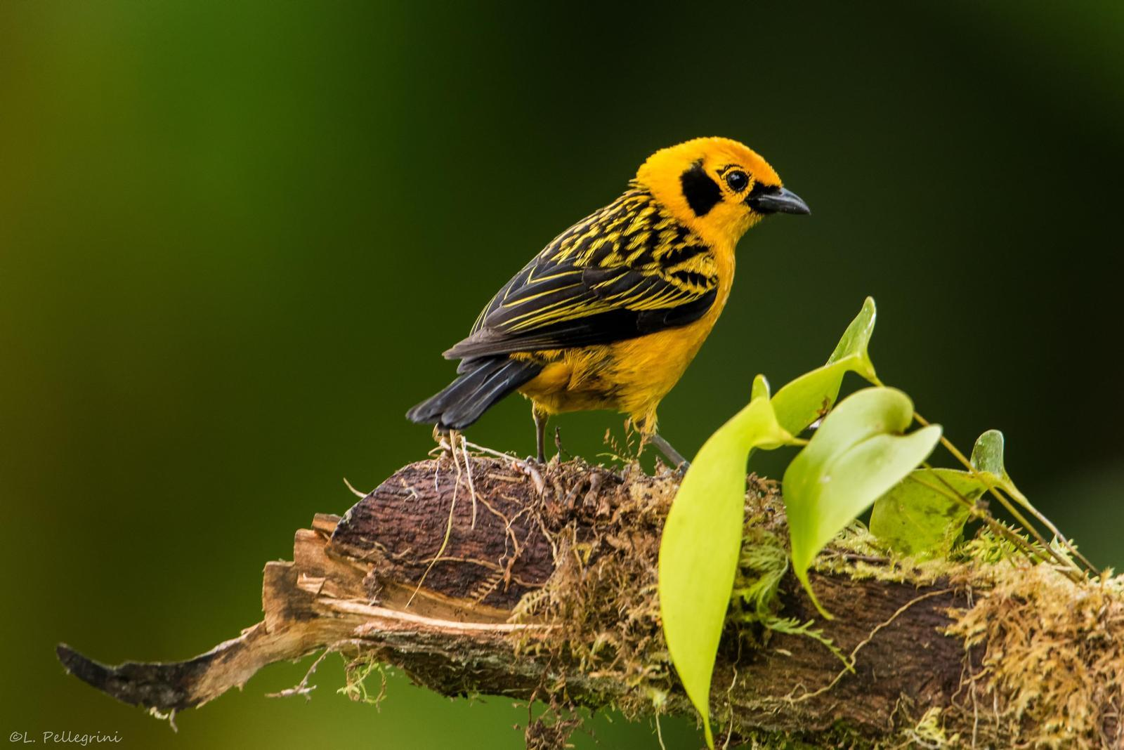 Golden Tanager Photo by Laurence Pellegrini