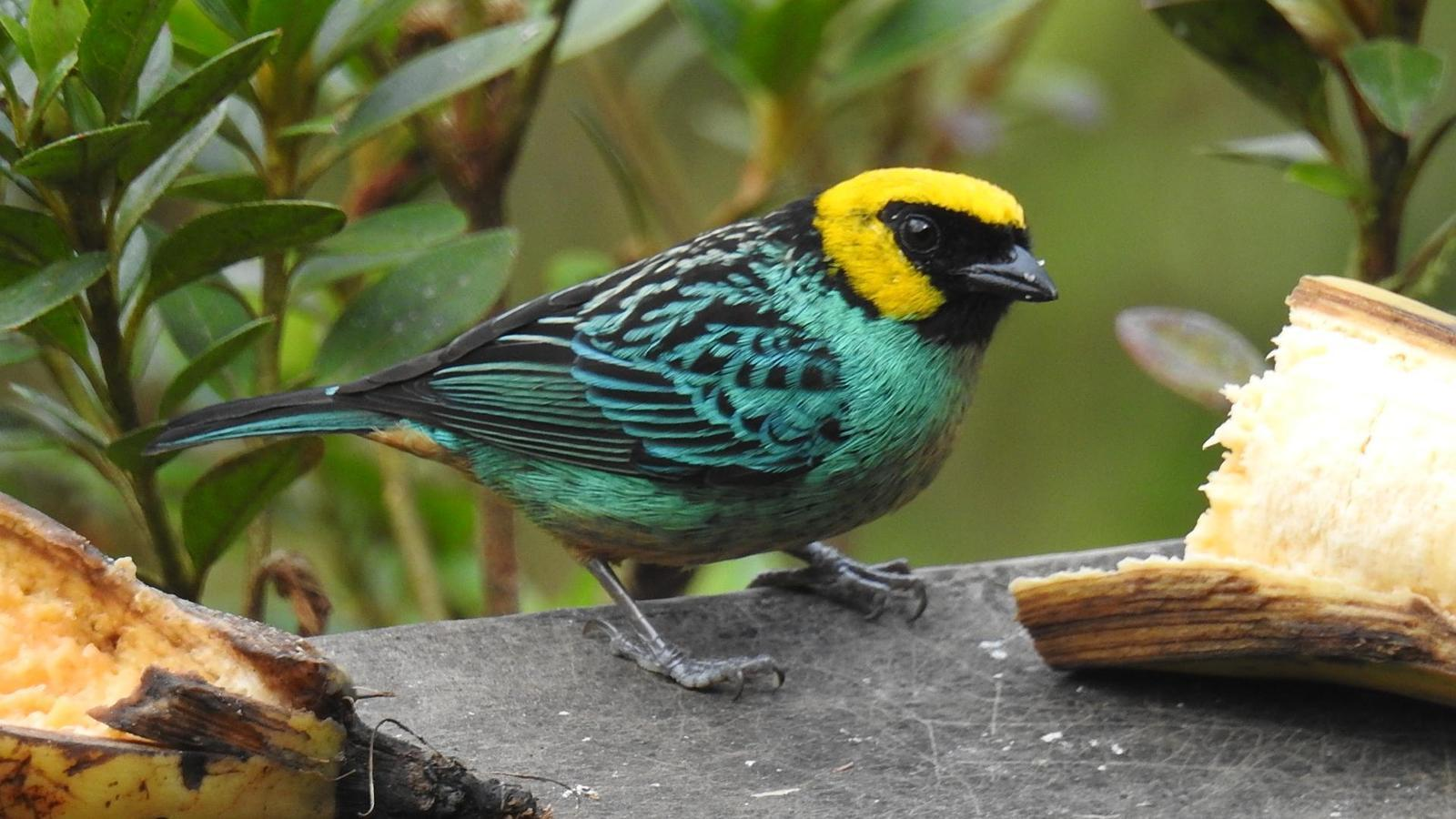 Saffron-crowned Tanager Photo by Julio Delgado