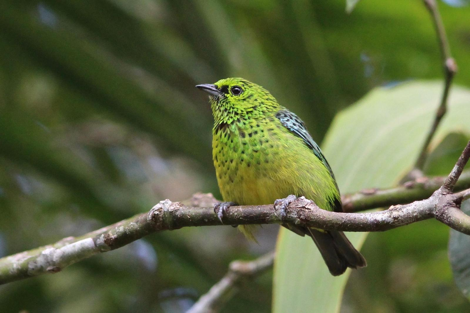 Yellow-bellied Tanager Photo by Oscar Johnson