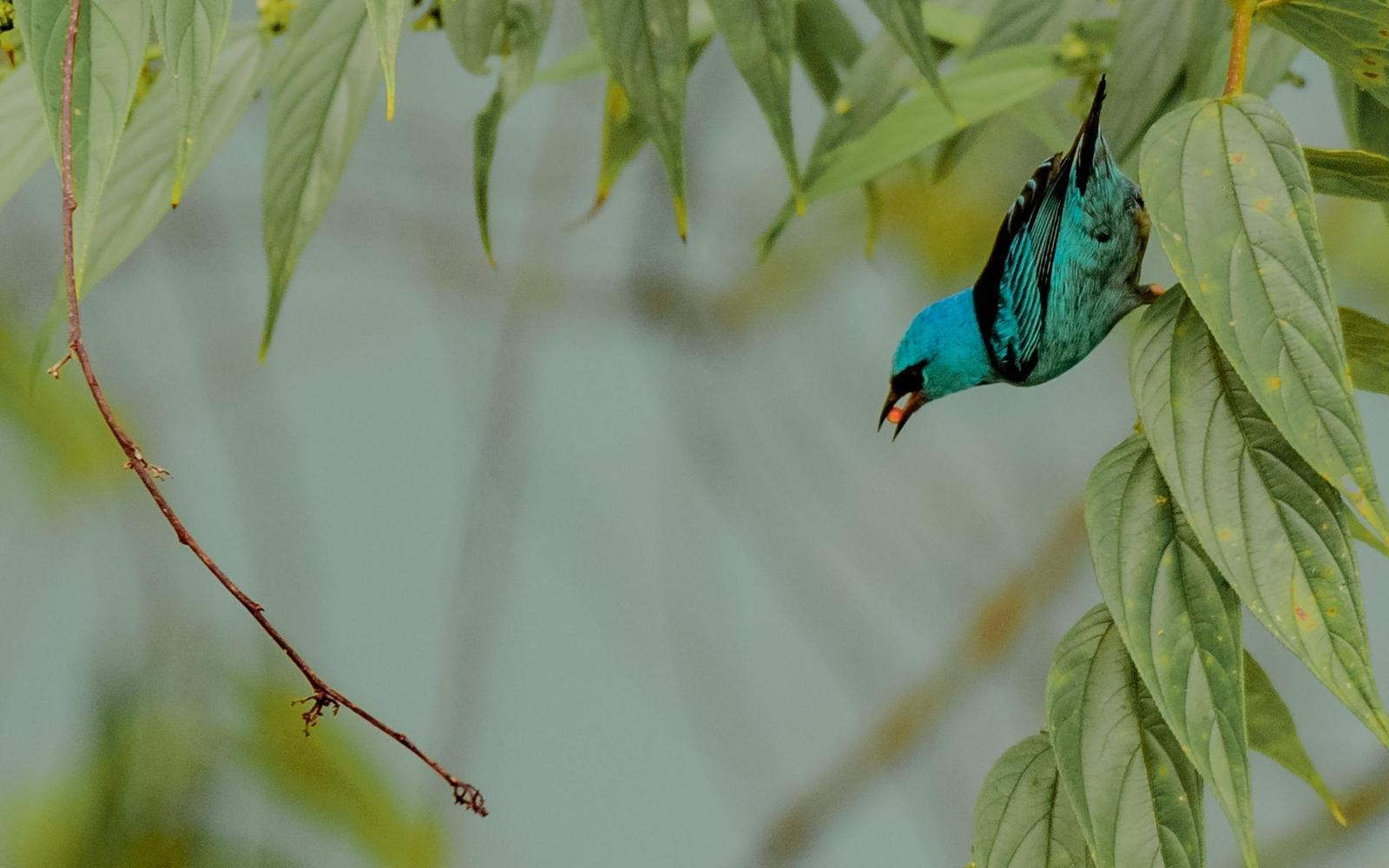 Blue Dacnis Photo by Keshava Mysore