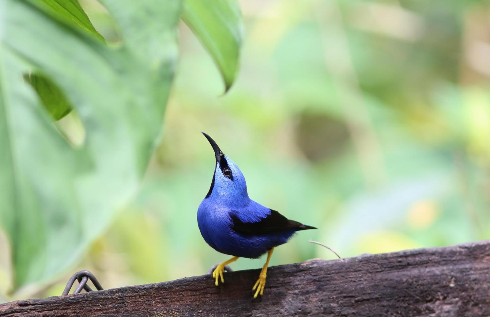 Shining Honeycreeper Photo by Rohan van Twest