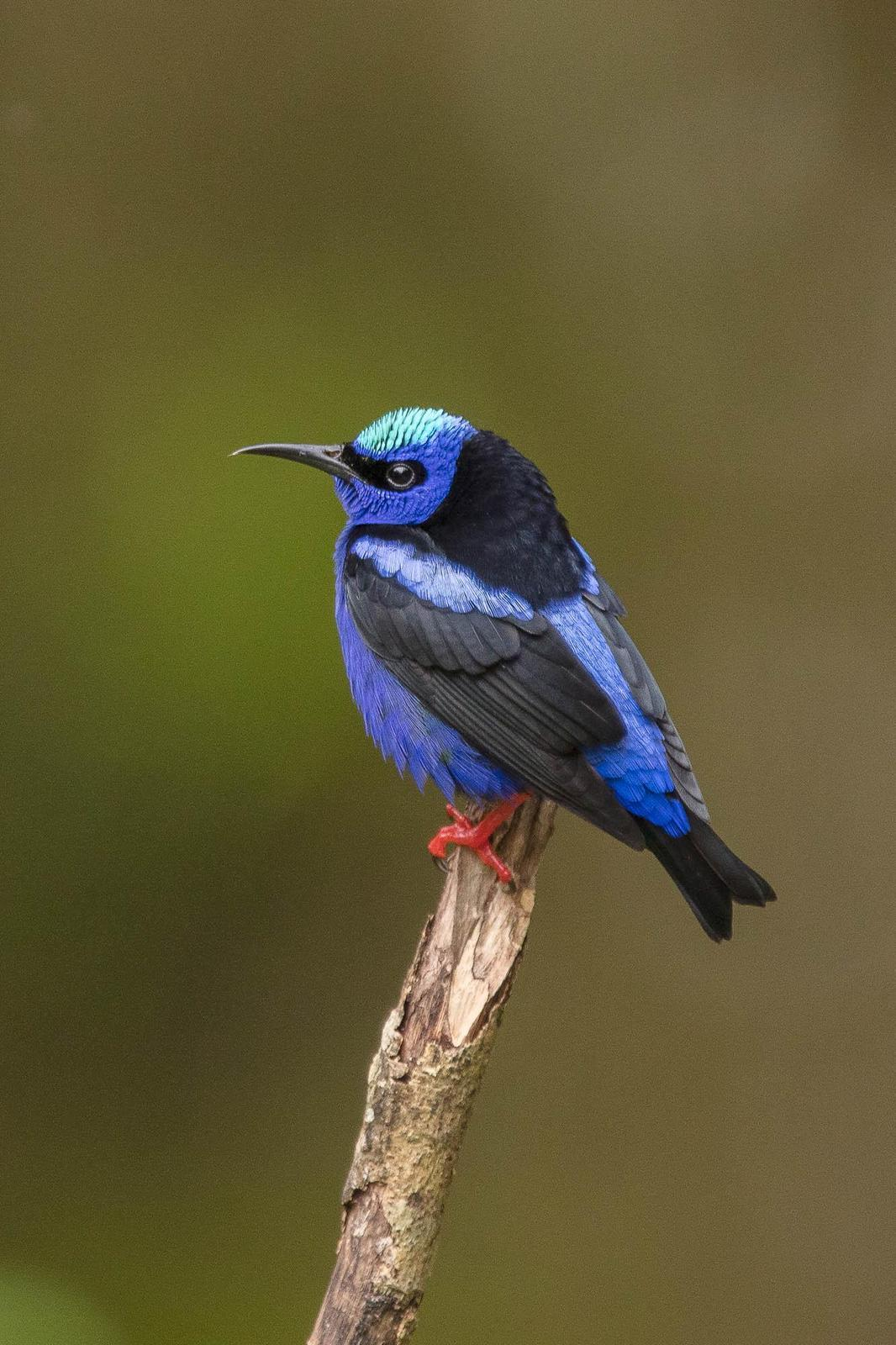 Red-legged Honeycreeper Photo by Denis Rivard