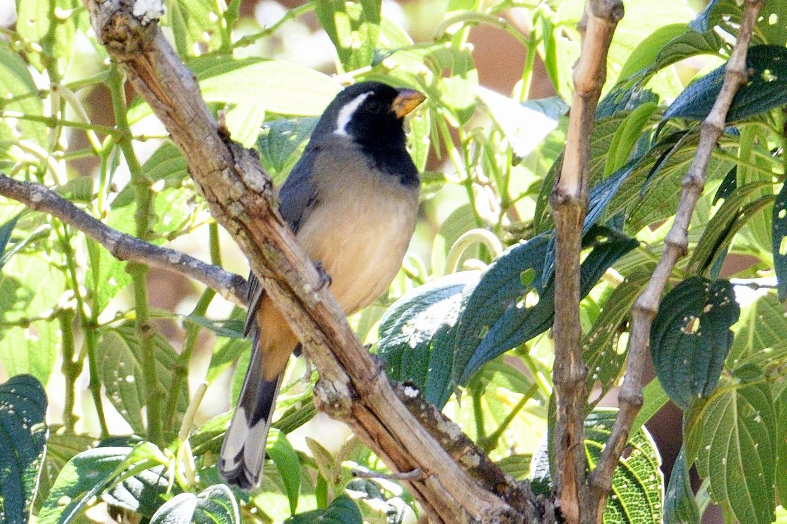 Green-winged Saltator Photo by Ann Doty