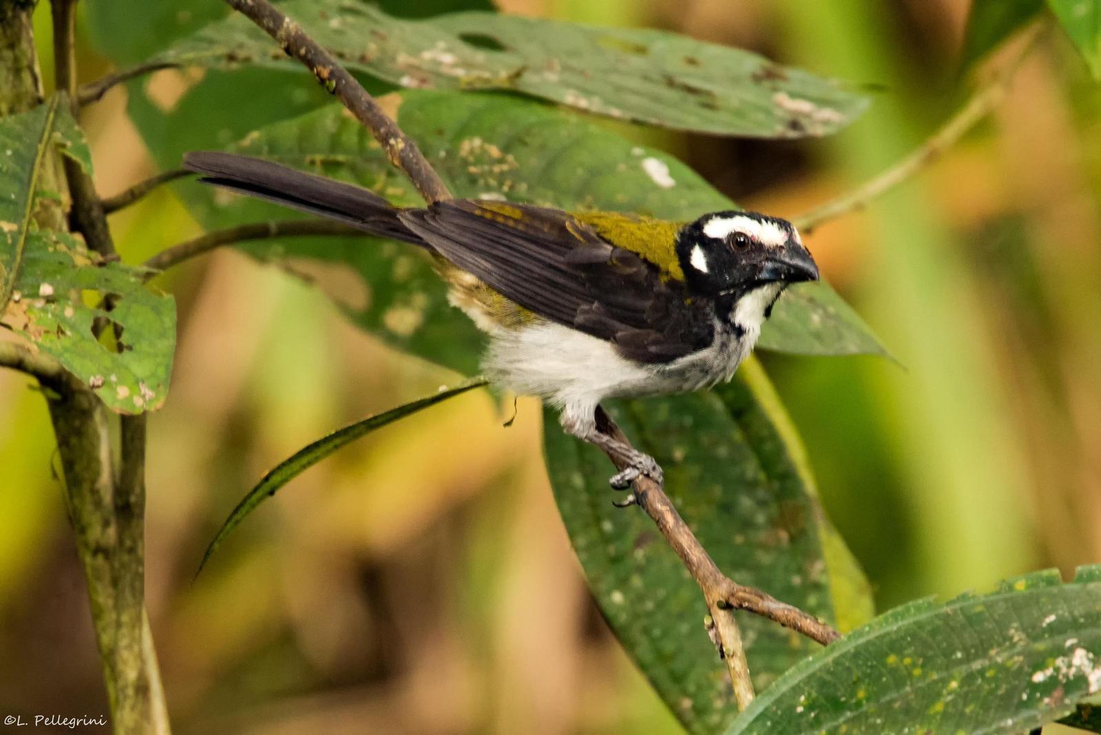 Black-winged Saltator Photo by Laurence Pellegrini