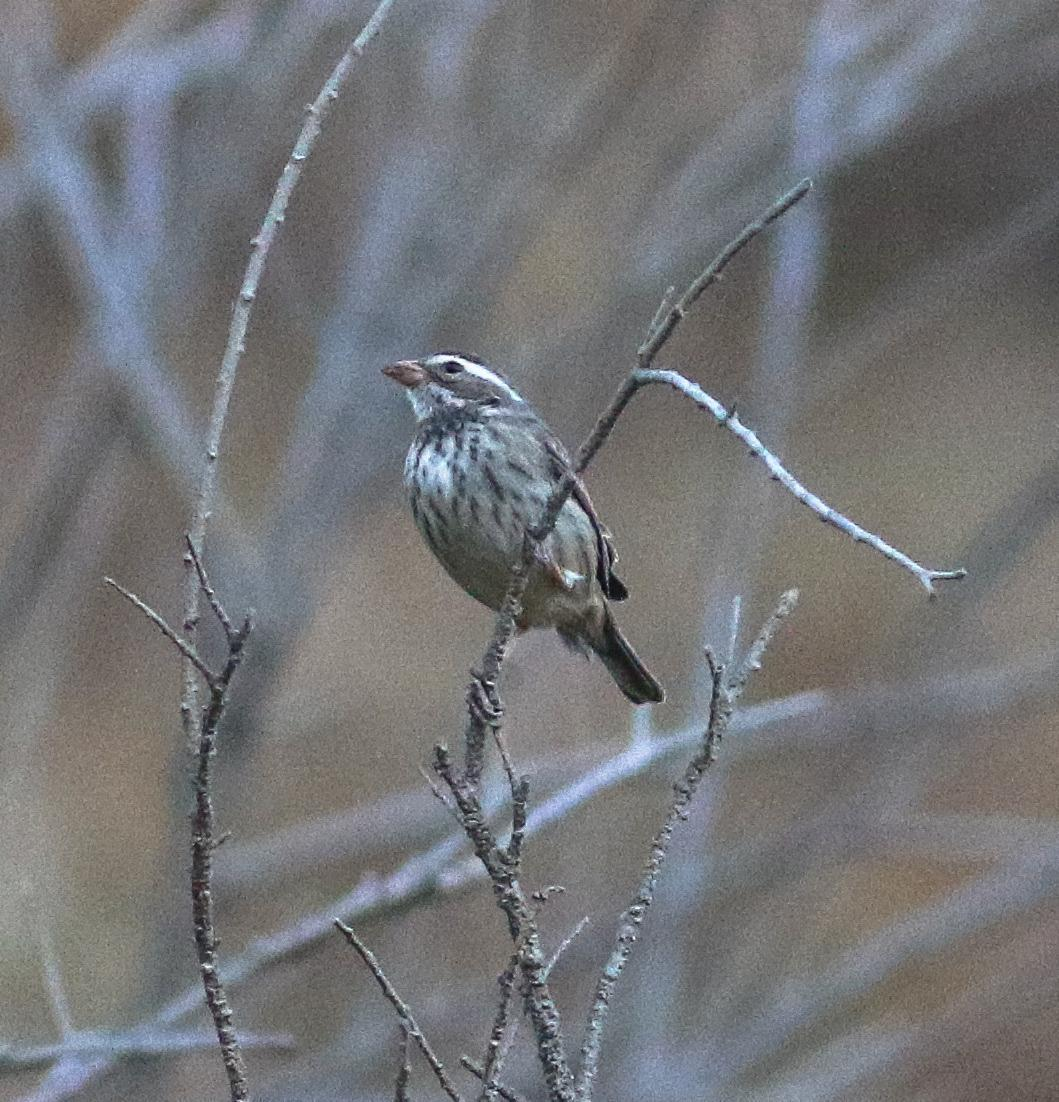 Collared Warbling-Finch Photo by Leonardo Garrigues