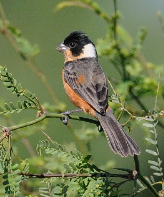 Cinnamon-rumped Seedeater Photo by Steven Mlodinow