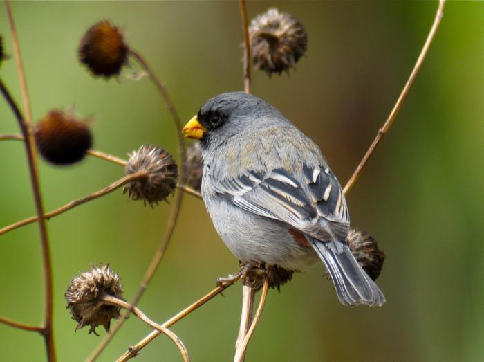 Band-tailed Seedeater Photo by Andre  Moncrieff