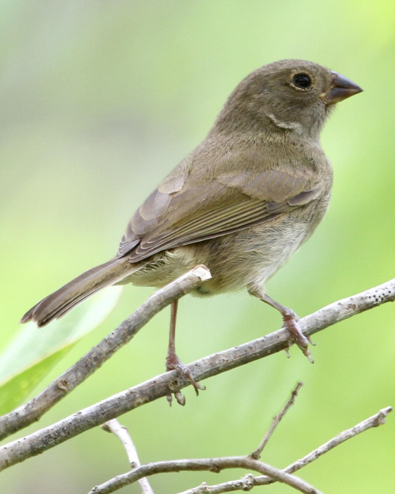 Black-faced Grassquit Photo by Monte Taylor