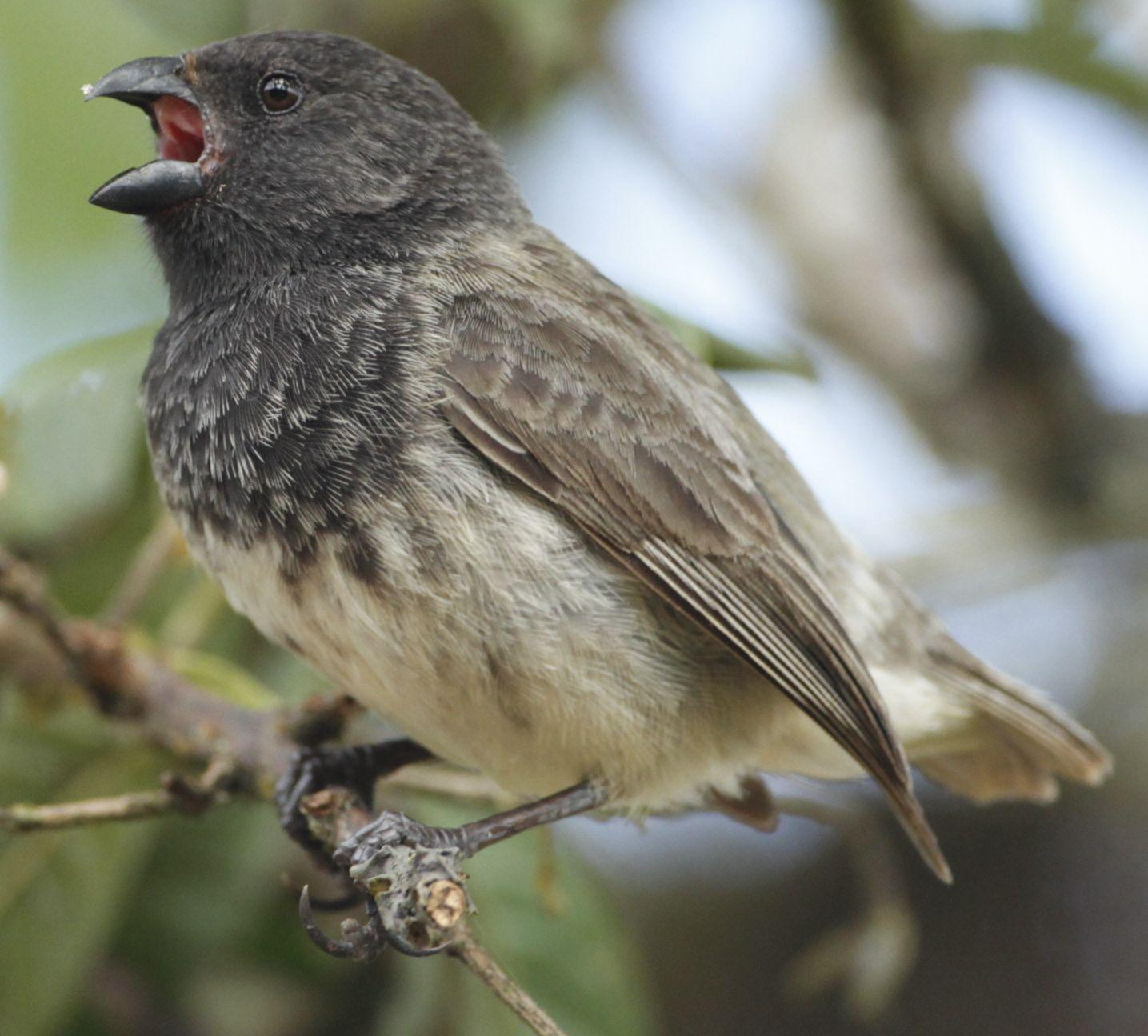 Small Tree-Finch Photo by Michi Dvorak