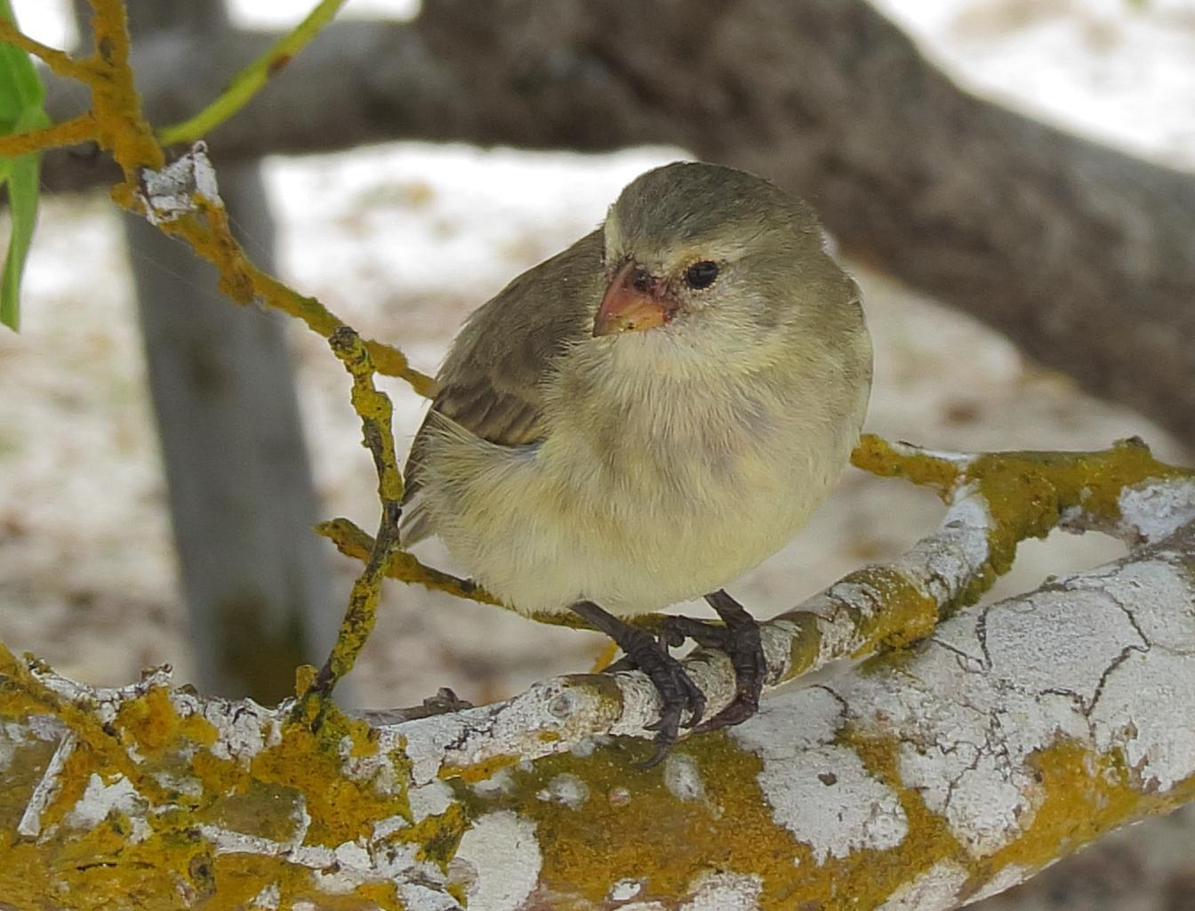 Small Tree-Finch Photo by Kent Jensen