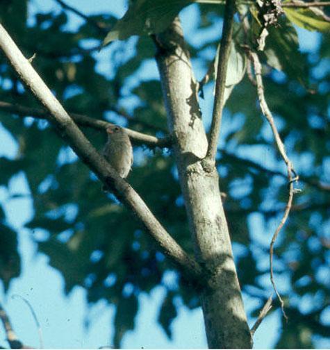 Small Tree-Finch Photo by Dan Tallman
