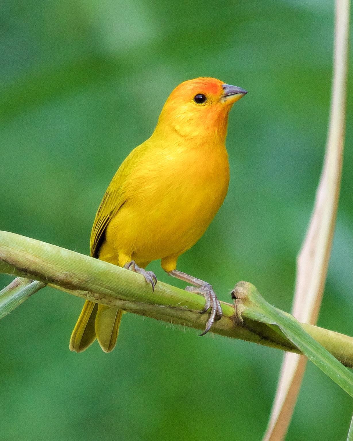 Saffron Finch Photo by Denis Rivard