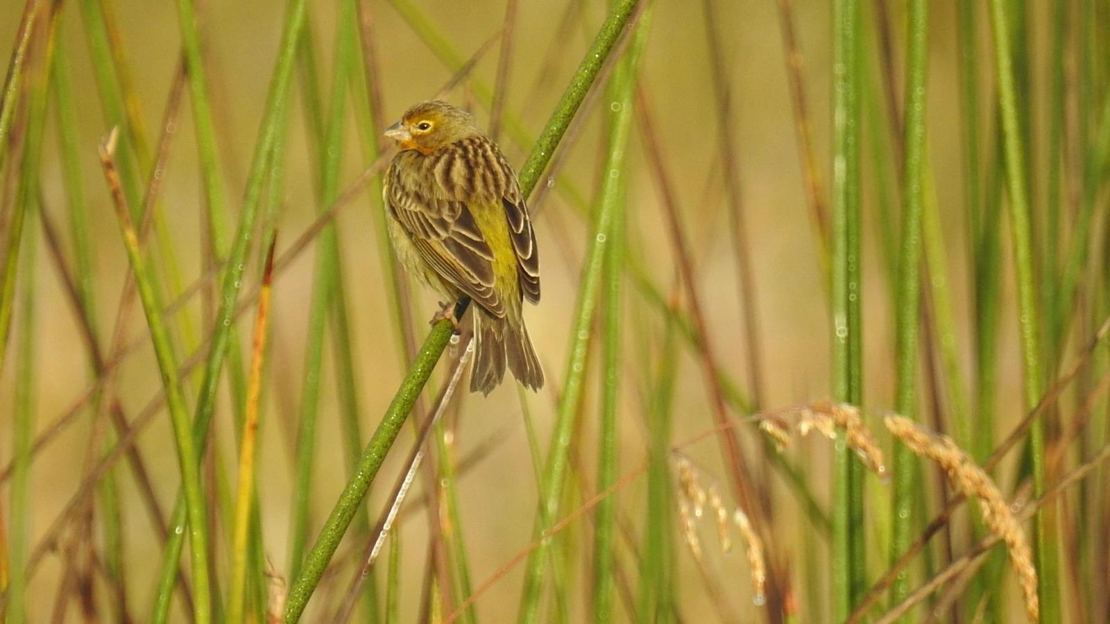 Grassland Yellow-Finch Photo by Julio Delgado
