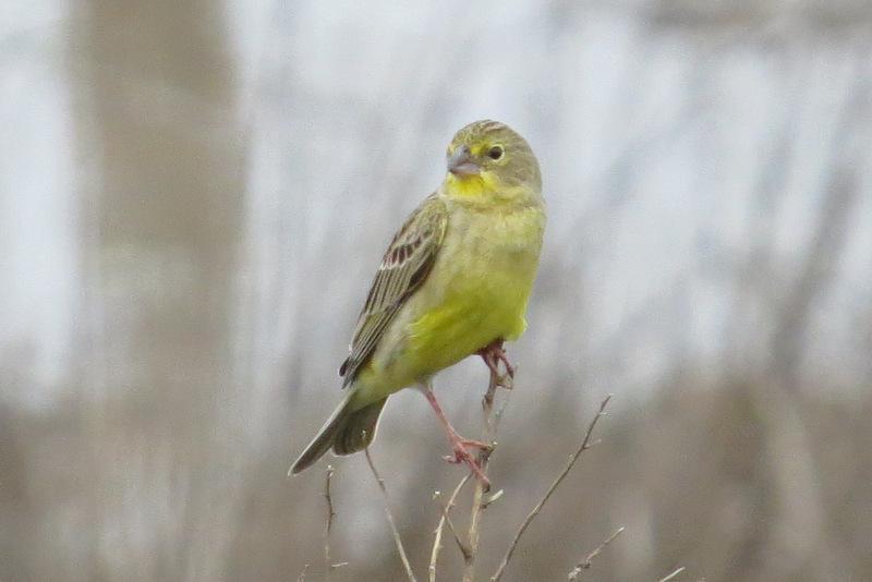 Grassland Yellow-Finch Photo by Jeff Harding