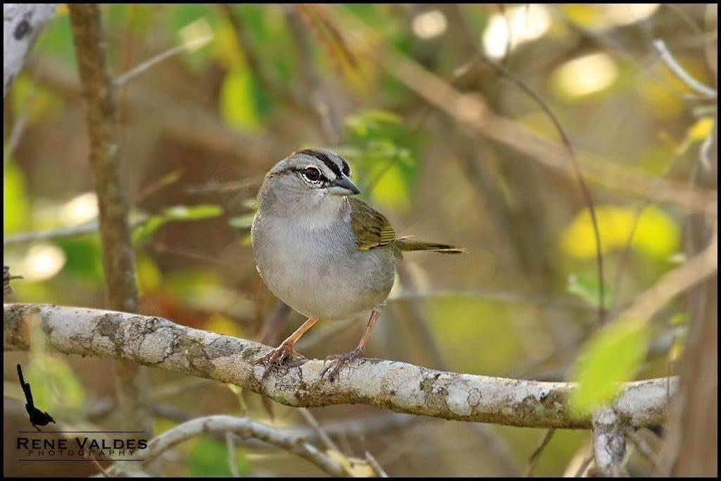 Olive Sparrow Photo by Rene Valdes