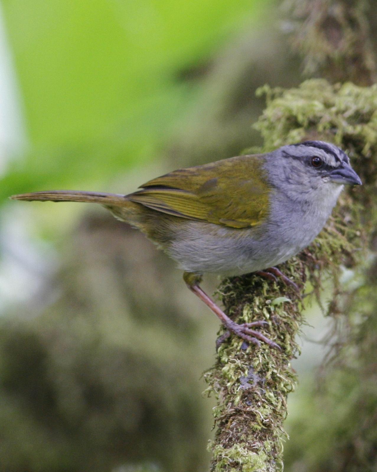 Black-striped Sparrow Photo by Oscar Johnson