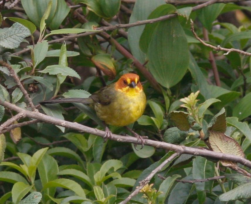 Fulvous-headed Brushfinch Photo by Andre  Moncrieff