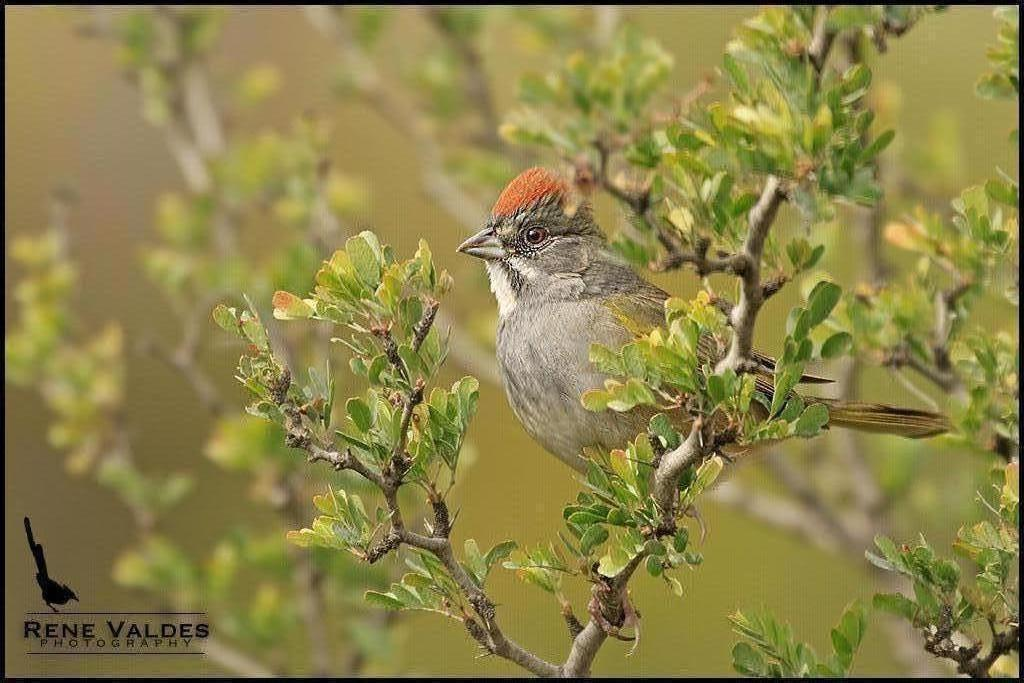 Green-tailed Towhee Photo by Rene Valdes