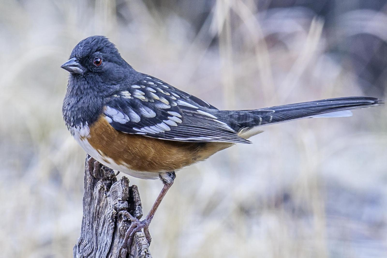 Spotted Towhee Photo by Mason Rose