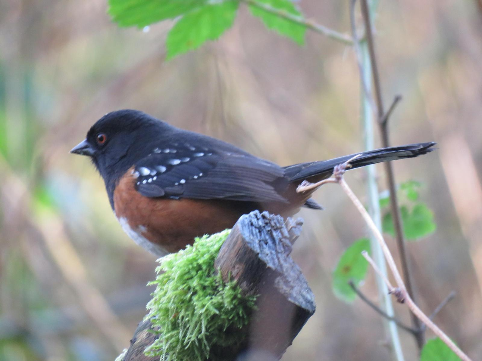 Spotted Towhee Photo by Ted Goshulak