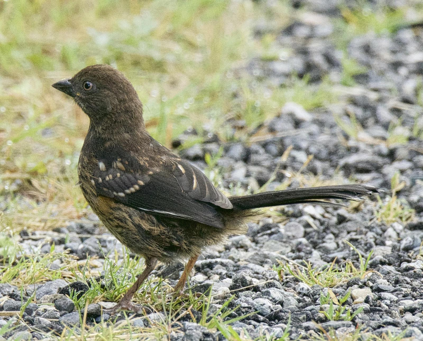 Spotted Towhee (oregonus Group) Photo by Brian Avent