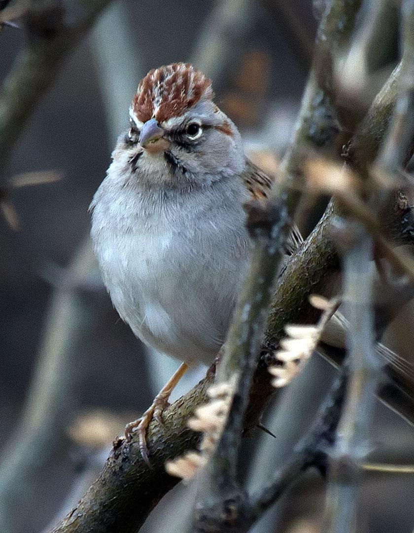 Rufous-winged Sparrow Photo by Scott Berglund
