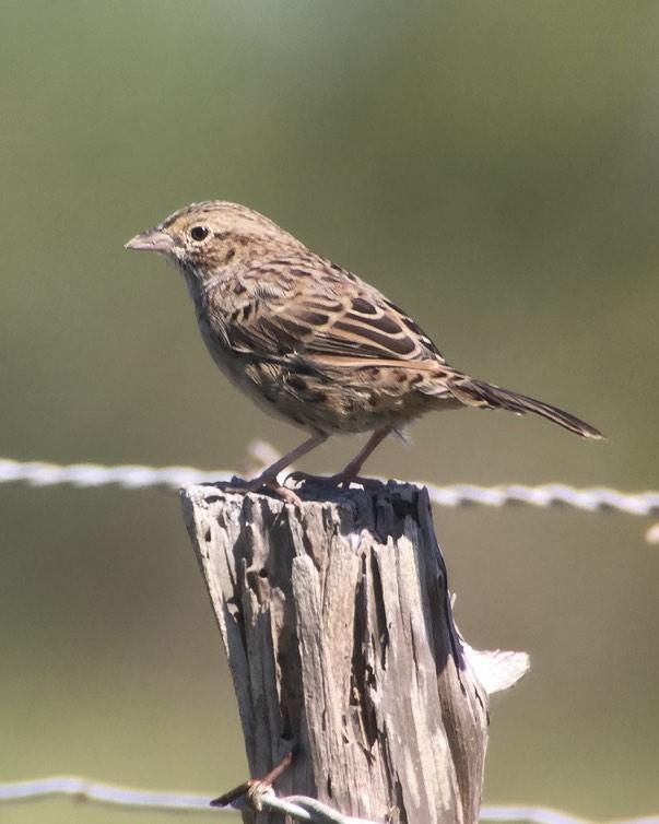 Cassin's Sparrow Photo by Drew Weber