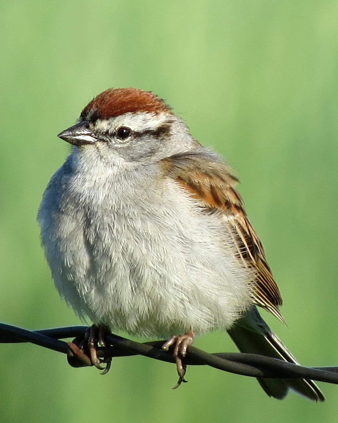 Chipping Sparrow Photo by Kelly Preheim