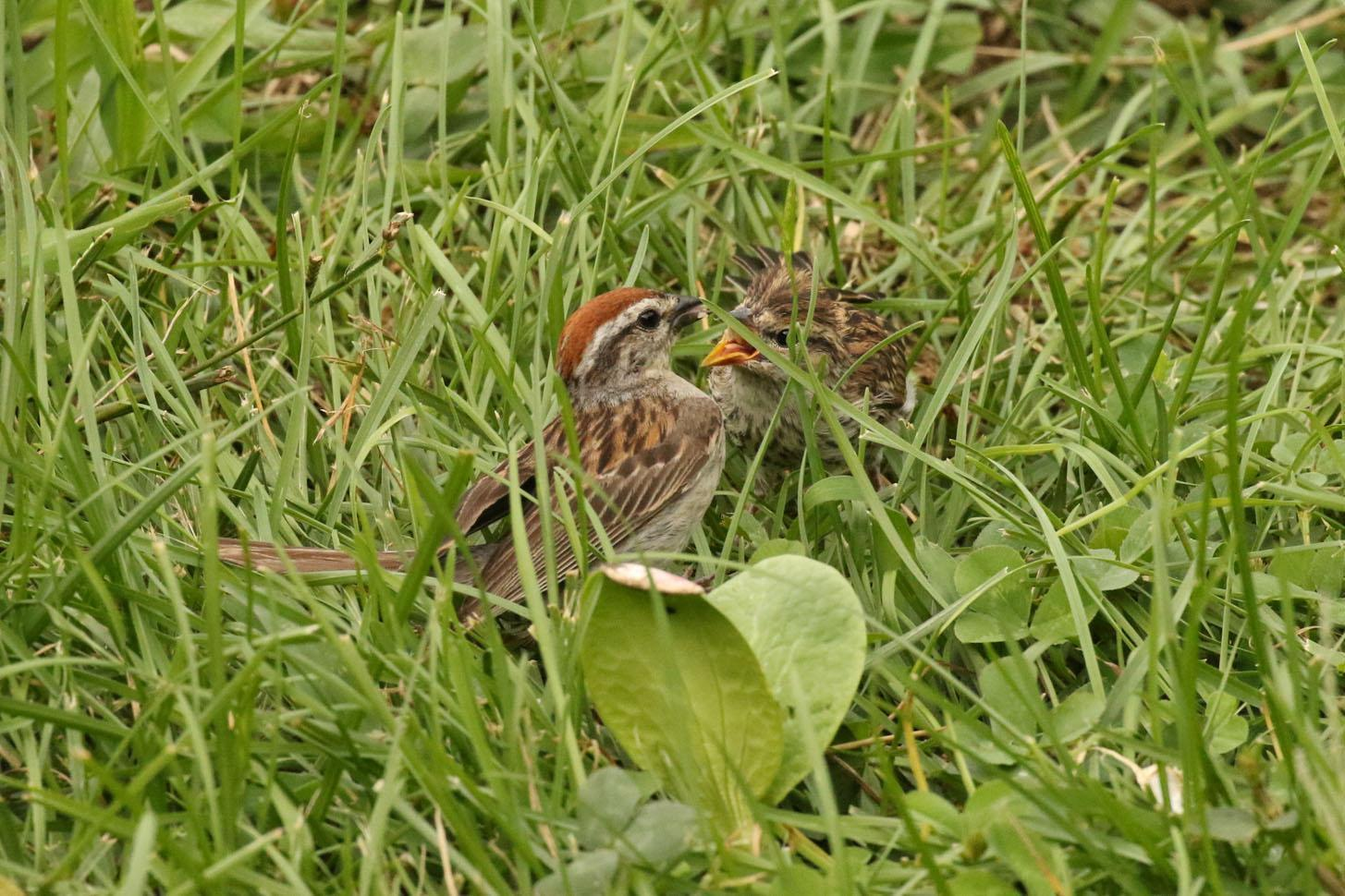Chipping Sparrow Photo by Kristy Baker