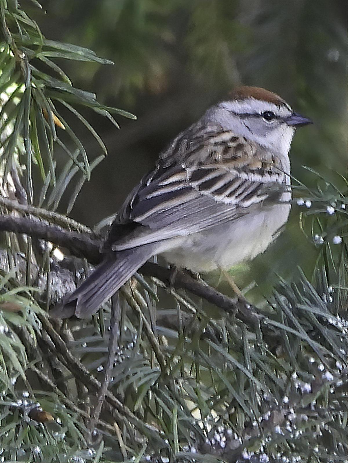 Chipping Sparrow Photo by Dan Tallman