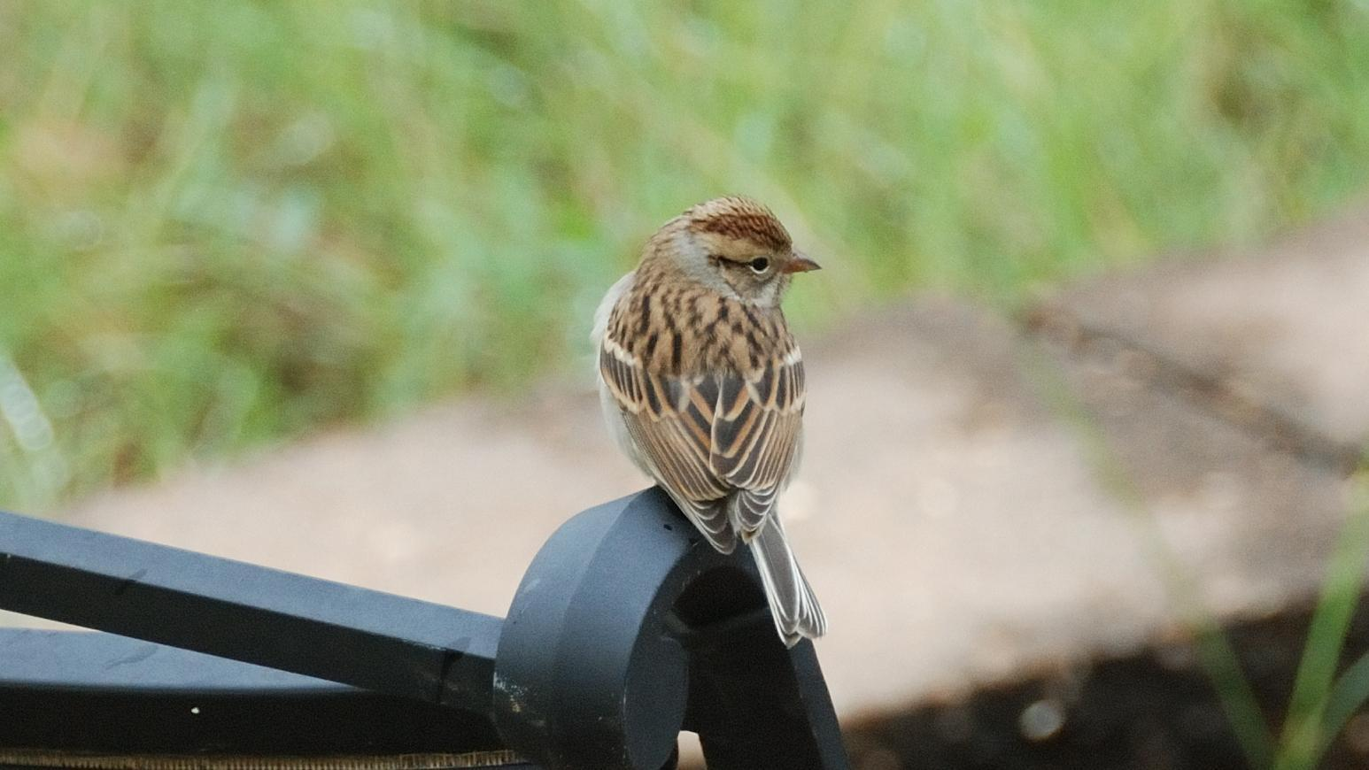 Chipping Sparrow Photo by RM Beck