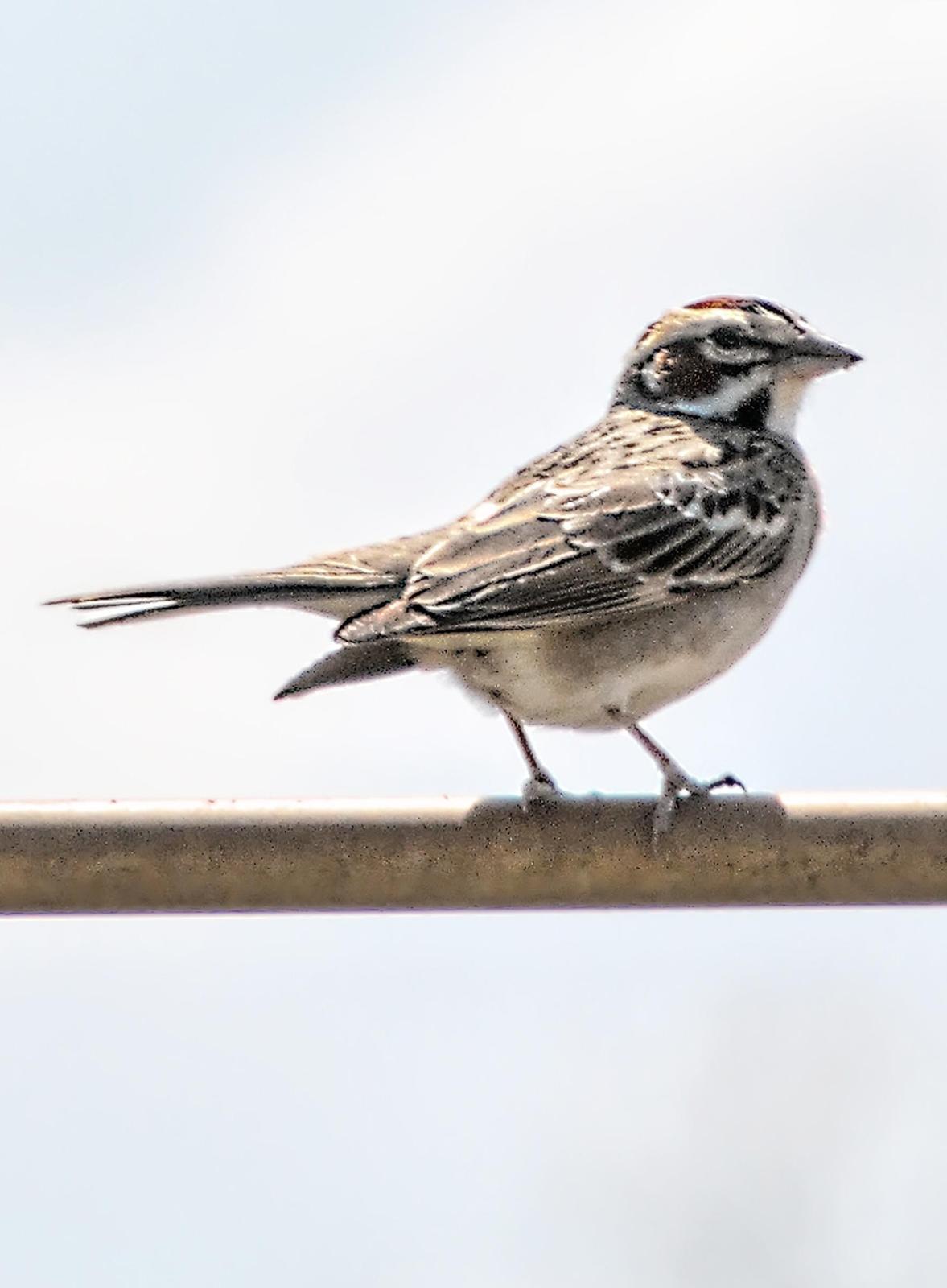 Lark Sparrow Photo by Dan Tallman