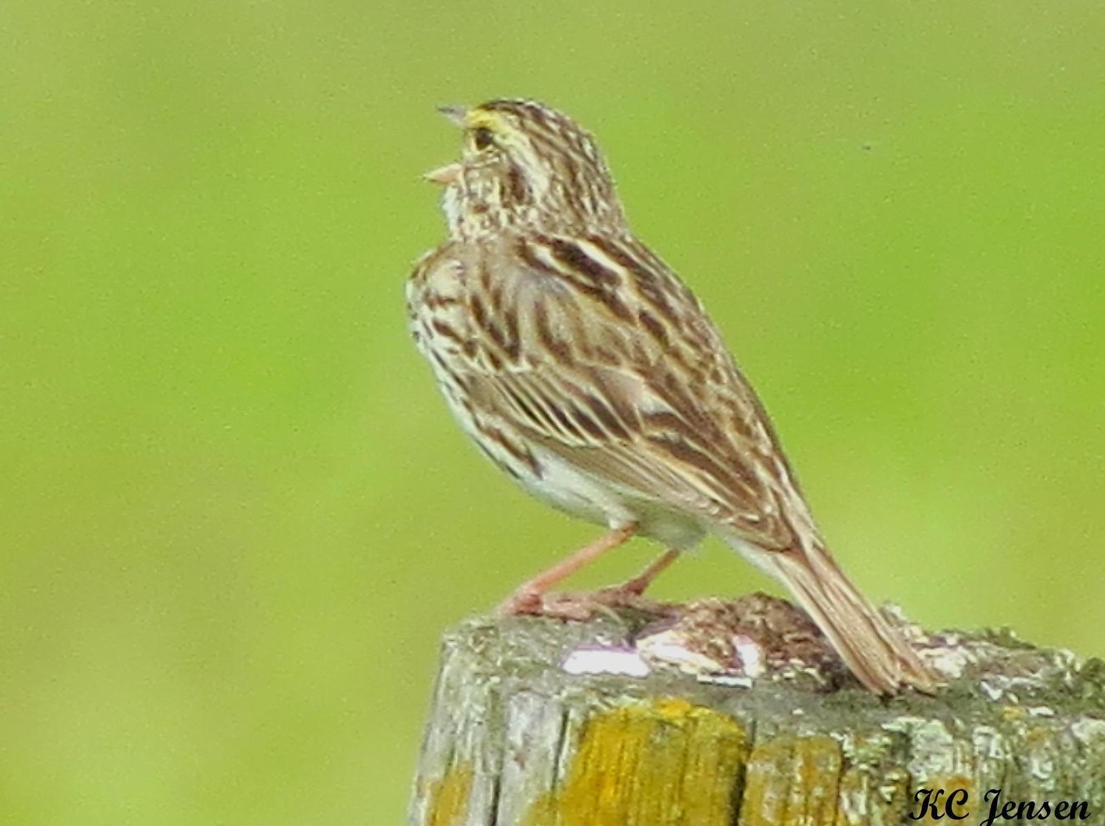 Savannah Sparrow Photo by Kent Jensen