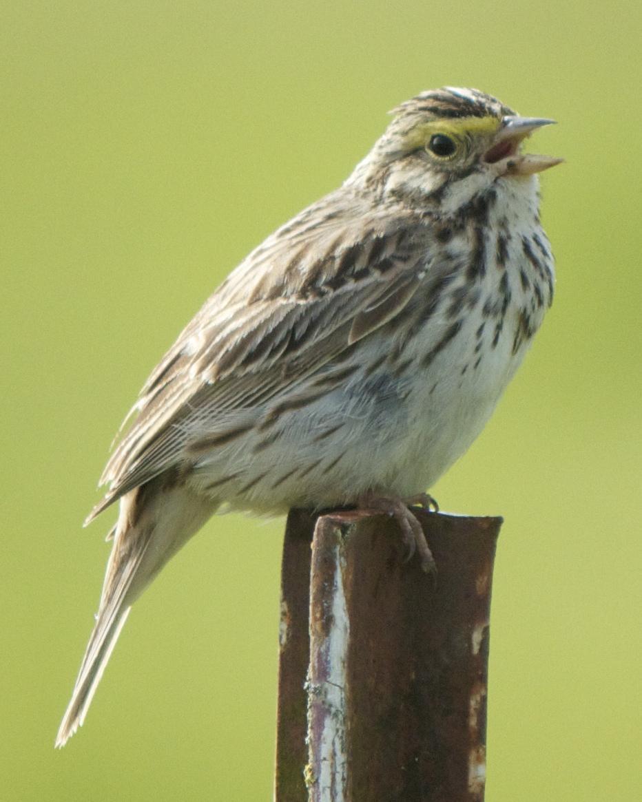 Savannah Sparrow Photo by Mark Baldwin