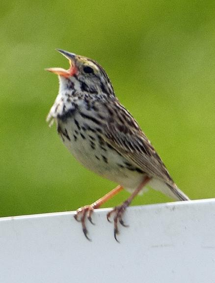 Savannah Sparrow Photo by Dan Tallman