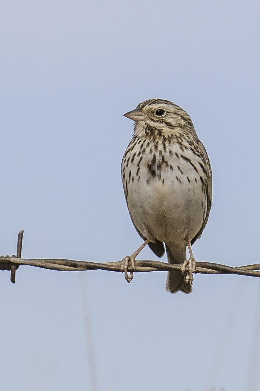 Savannah Sparrow Photo by Mason Rose