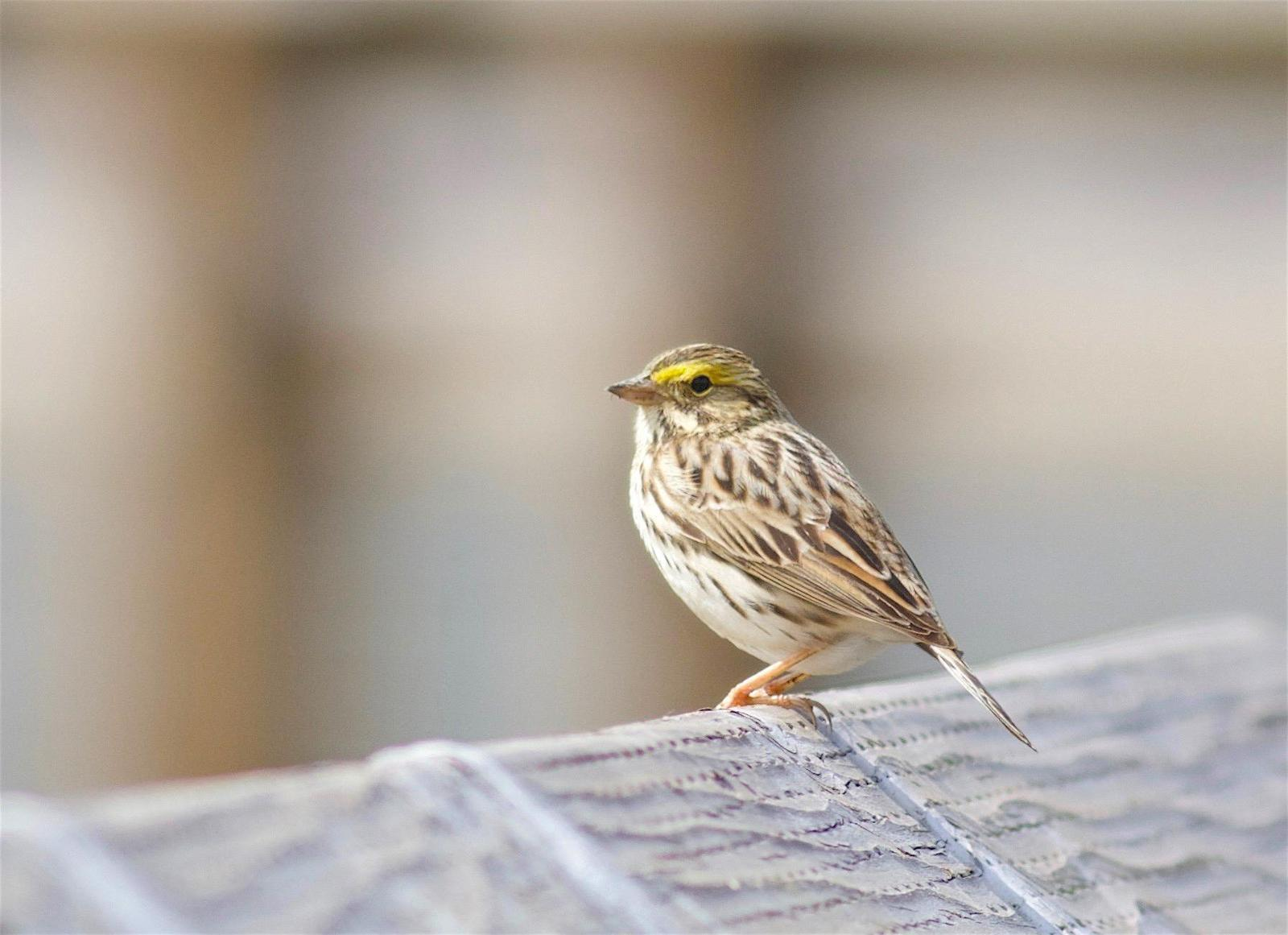 Savannah Sparrow Photo by Kathryn Keith