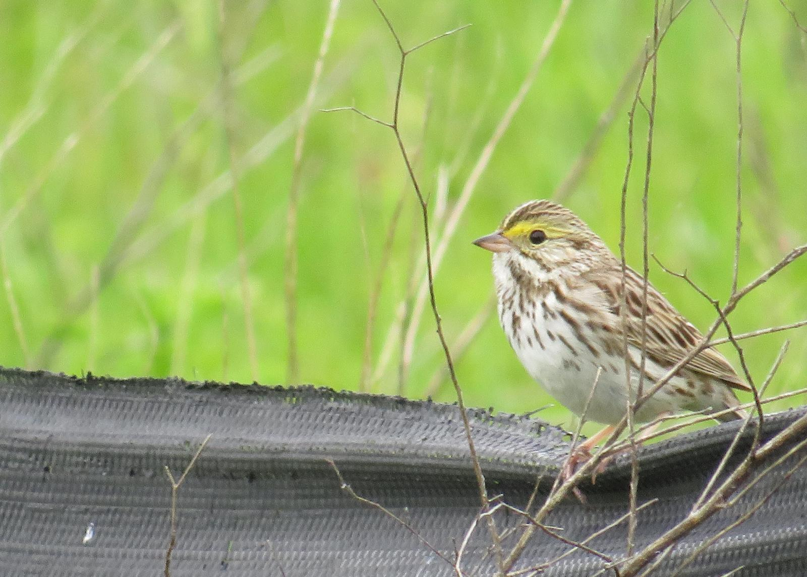 Savannah Sparrow Photo by Jeff Harding