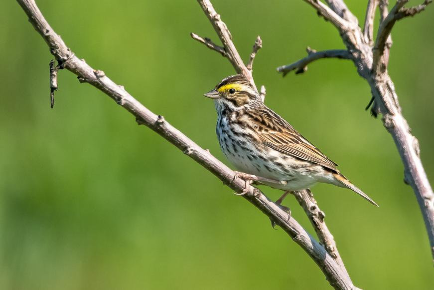 Savannah Sparrow Photo by Gerald Hoekstra