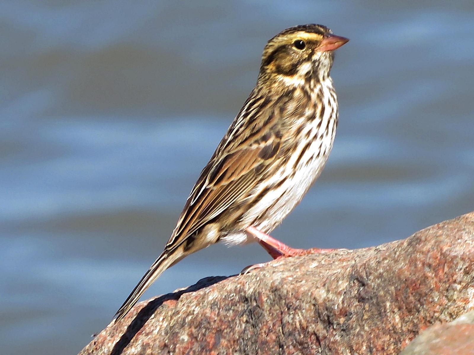 Savannah Sparrow Photo by Bob Neugebauer
