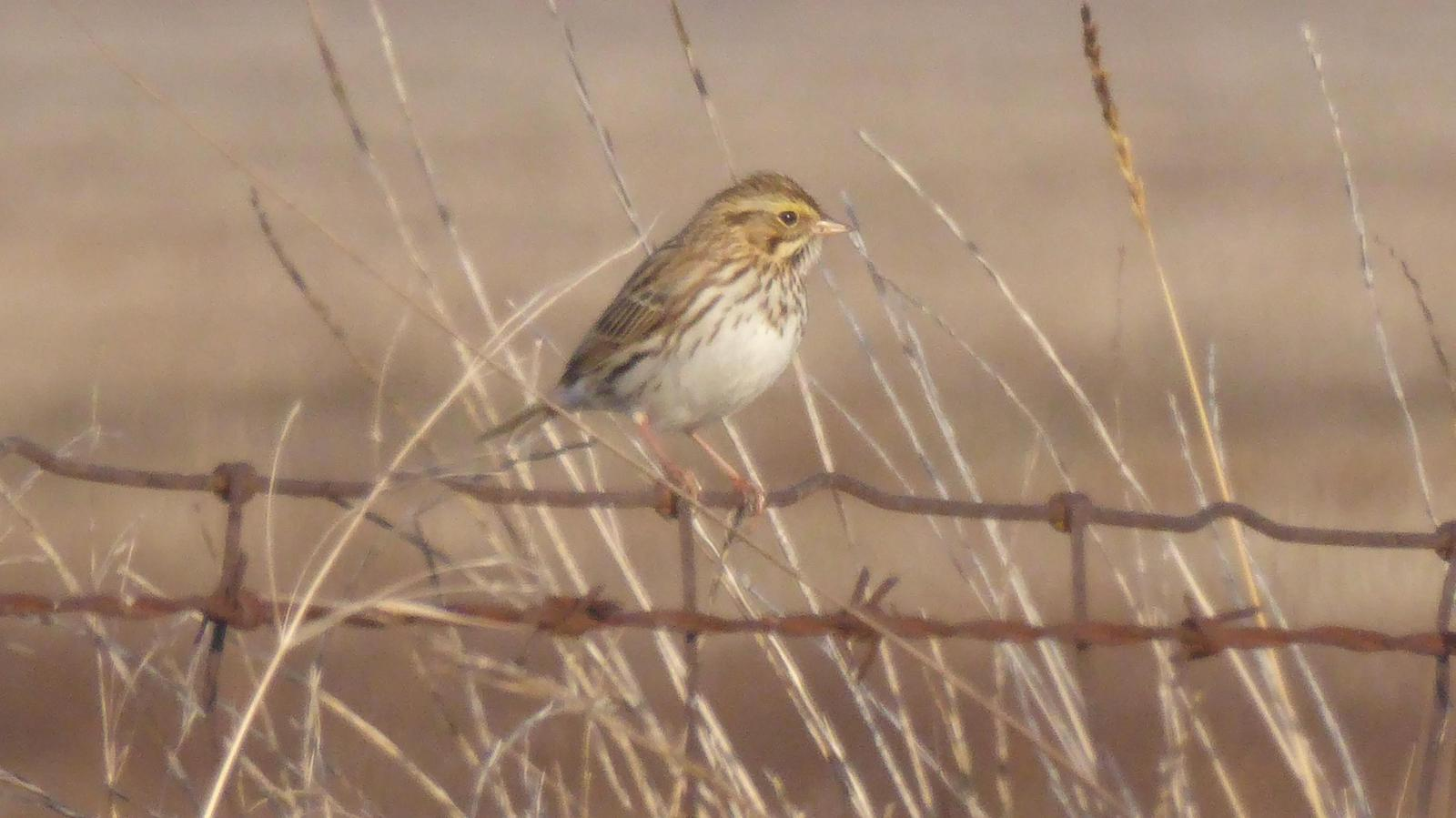 Savannah Sparrow Photo by Daliel Leite