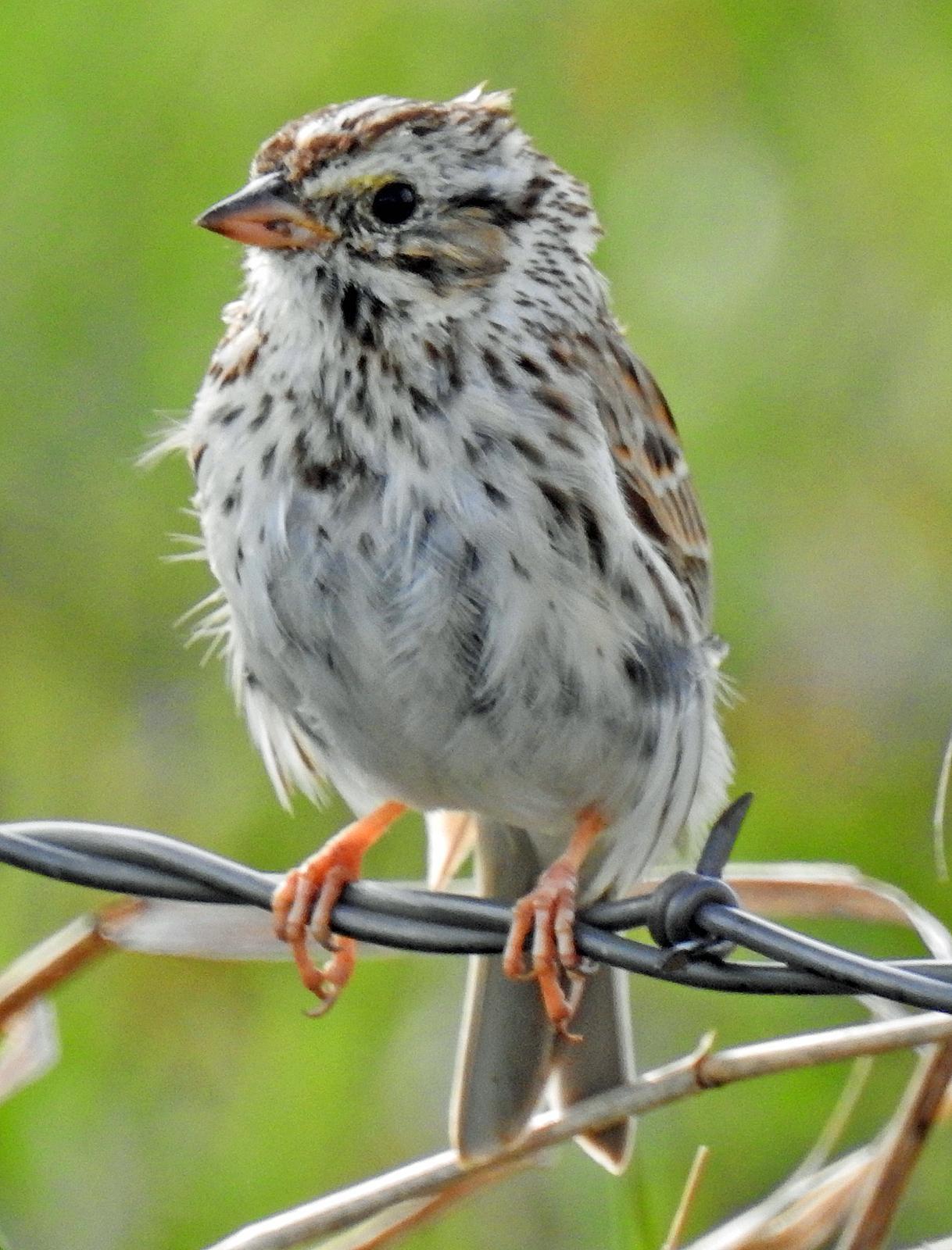 Savannah Sparrow Photo by Tom Gannon