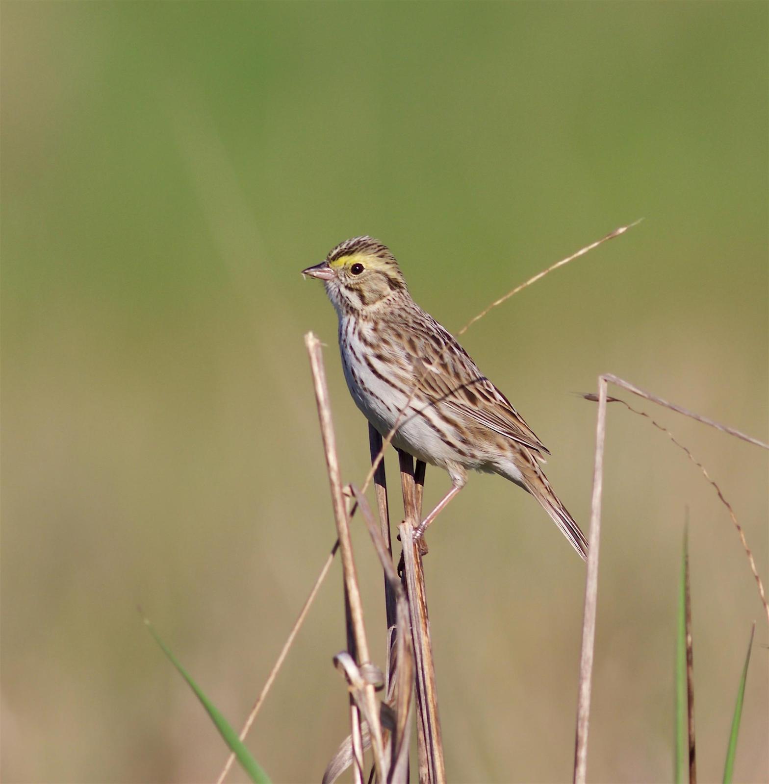 Savannah Sparrow Photo by Kathryn Keith