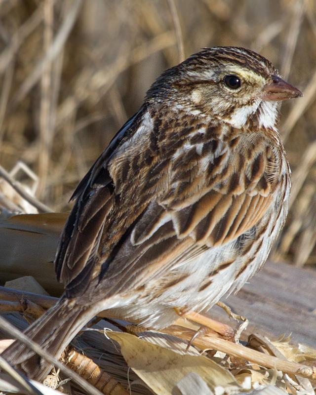 Savannah Sparrow Photo by Ashley Bradford