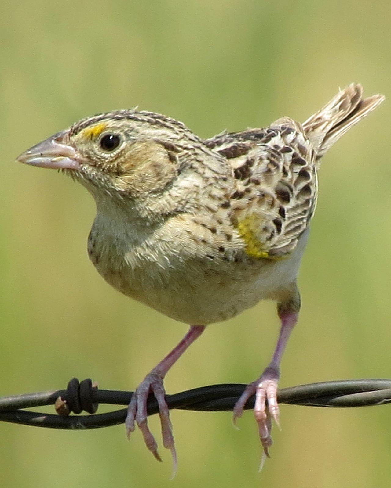 Grasshopper Sparrow Photo by Kelly Preheim
