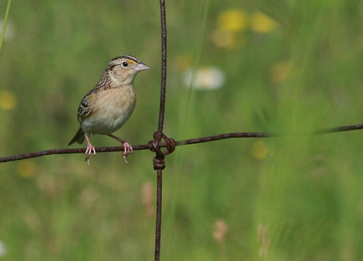 Grasshopper Sparrow (Eastern) Photo by Aaron Hywarren