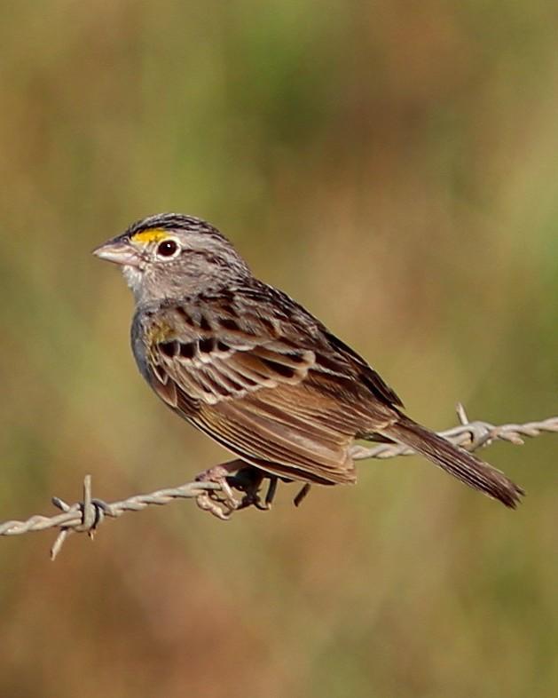 Grassland Sparrow Photo by Rohan van Twest