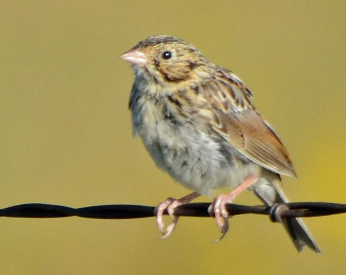 Baird's Sparrow Photo by Steven Mlodinow
