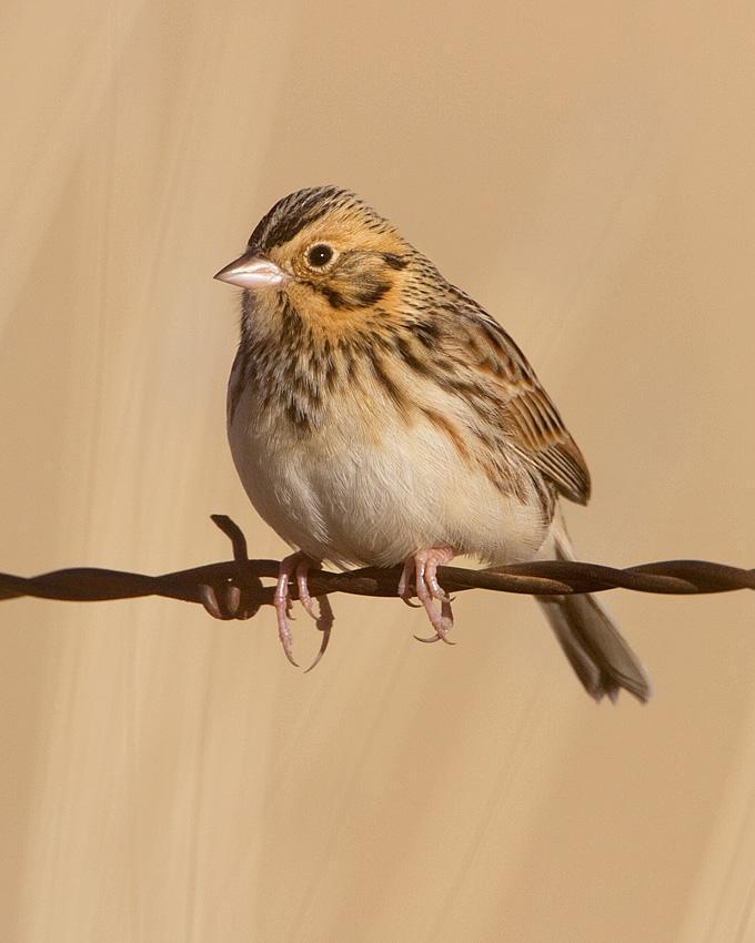 Baird's Sparrow Photo by Arlene Ripley